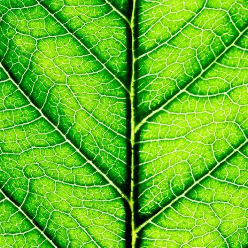 leaf_chlorophyll
